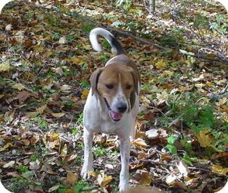 Foxhound/Hound (Unknown Type) Mix Dog for adoption in Metamora, Indiana - Jethro