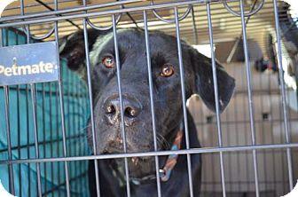 Labrador Retriever Mix Dog for adoption in Worcester, Massachusetts - Shadow