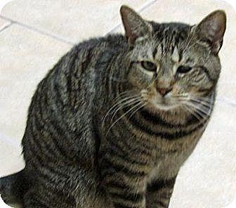 Domestic Shorthair Cat for adoption in Carlisle, Pennsylvania - Ben
