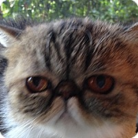 Adopt A Pet :: Maggie - Beverly Hills, CA