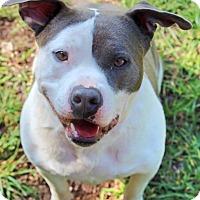 Adopt A Pet :: Cupcake - Spring City, PA