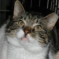 Domestic Shorthair Cat for adoption in Marlboro, New Jersey - Martin