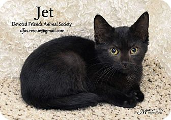 Domestic Shorthair Kitten for adoption in Ortonville, Michigan - Jet
