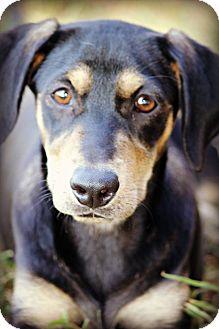 Hound (Unknown Type)/Labrador Retriever Mix Dog for adoption in Westport, Connecticut - *Jade - PENDING