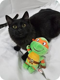 Domestic Mediumhair Cat for adoption in Edmond, Oklahoma - Michelangelo