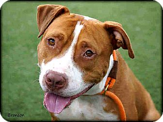 Pit Bull Terrier/American Staffordshire Terrier Mix Dog for adoption in Vista, California - Bronson