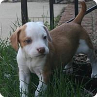 Adopt A Pet :: Nutmeg - Holly Springs, NC