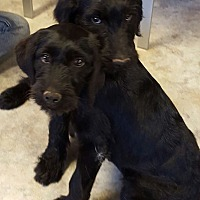 Adopt A Pet :: Layla and Louey - Alpharetta, GA