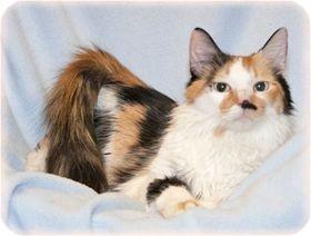 Domestic Longhair Cat for adoption in Warren, Michigan - Lola