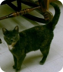 Domestic Shorthair Cat for adoption in Milwaukee, Wisconsin - Olivia