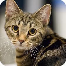 Domestic Shorthair Cat for adoption in Lancaster, Massachusetts - Sugar Pie