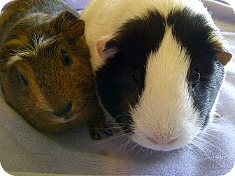 Guinea Pig for adoption in Fullerton, California - Flower and Lucky (OCCH's pigs)