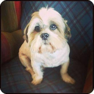 Shih Tzu Mix Dog for adoption in Seattle, Washington - Mundo