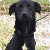 Adopt A Pet :: Sheba - Hatifeld, PA