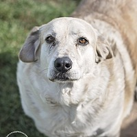 Great Pyrenees/Labrador Retriever Mix Dog for adoption in Iola, Texas - Chulo