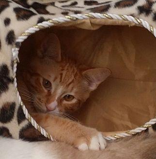 Domestic Shorthair Cat for adoption in San Fernando Valley, California - PJ