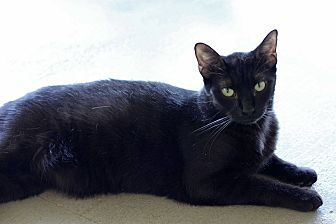 Domestic Shorthair Cat for adoption in Carencro, Louisiana - Liquorice
