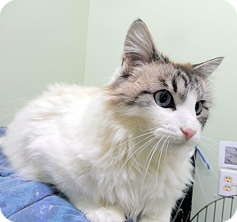 Domestic Longhair Cat for adoption in Creston, British Columbia - Asia