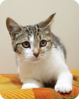 Domestic Shorthair Kitten for adoption in Bellingham, Washington - Merry