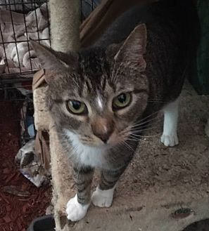 Domestic Shorthair Cat for adoption in Wanaque, New Jersey - MULTIPLE CATS