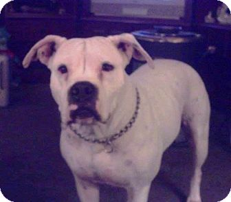 American Bulldog Mix Dog for adoption in Mary Esther, Florida - Kitty