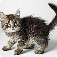 Adopt A Pet :: Lover Boy - Rockaway, NJ
