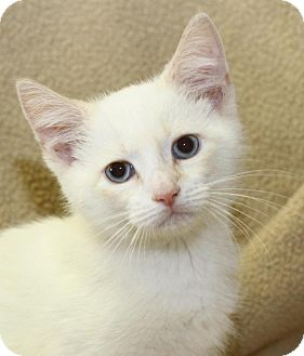 Siamese Kitten for adoption in Winston-Salem, North Carolina - Gucci