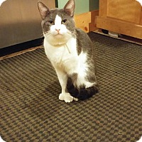 Domestic Shorthair Cat for adoption in New York, New York - Kappa