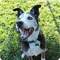 Adopt A Pet :: Smokey - Petaluma, CA