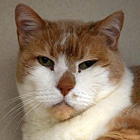 Domestic Shorthair Cat for adoption in Denver, Colorado - Chuck