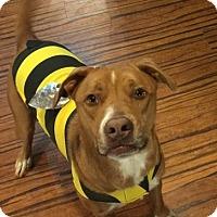 Adopt A Pet :: Bo Dog - Knoxville, TN