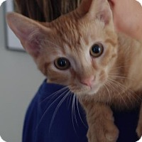 Domestic Shorthair Cat for adoption in Knoxville, Tennessee - Tang