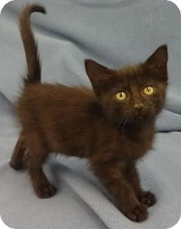 Domestic Shorthair Kitten for adoption in Olive Branch, Mississippi - Hope