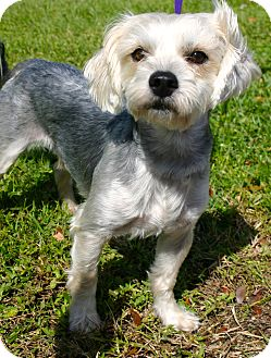 Maltese/Yorkie, Yorkshire Terrier Mix Dog for adoption in Ft Myers Beach, Florida - King Louie!!!