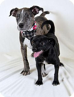 Catahoula Leopard Dog/Chihuahua Mix Puppy for adoption in Jackson, Mississippi - Colt & Wesson