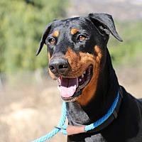 Doberman Pinscher Dog for adoption in Fillmore, California - Bosco