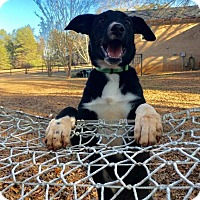 Beagle/Hound (Unknown Type) Mix Puppy for adoption in Charlotte, North Carolina - Sawyer