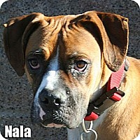 Boxer Dog for adoption in Encino, California - Nala