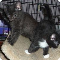 Adopt A Pet :: York Chocolate x kittens - Dallas, TX