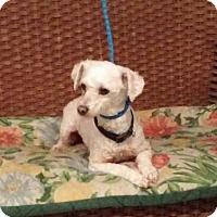 Adopt A Pet :: Sweetie - Tulsa, OK