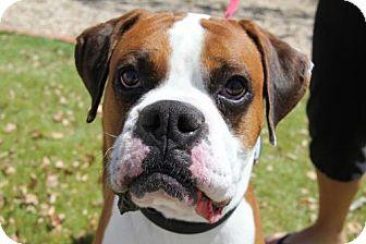 Boxer Dog for adoption in Phoenix, Arizona - Draco