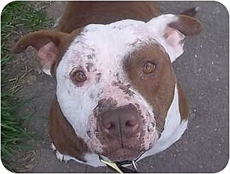 American Pit Bull Terrier Mix Dog for adoption in Bakersfield, California - Danny