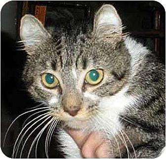 American Curl Cat for adoption in Brooklyn, New York - Logan