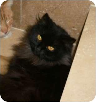 Domestic Longhair Cat for adoption in lake elsinore, California - Minnie