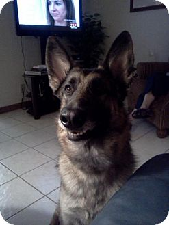 German Shepherd Dog Dog for adoption in Green Cove Springs, Florida - Libby