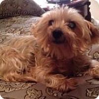 Adopt A Pet :: Sweetie - Yakima, WA