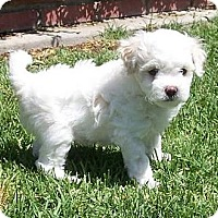 Adopt A Pet :: Buddy - La Habra Heights, CA