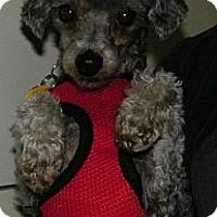 Adopt A Pet :: Honey - South Amboy, NJ