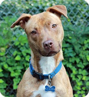 Pit Bull Terrier Mix Dog for adoption in Port Washington, New York - Cali