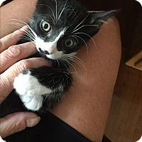 Adopt A Pet :: Murdock (bottle fed) - Sterling Hgts, MI